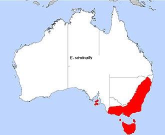 Eucalyptus viminalis - Image: E viminalis