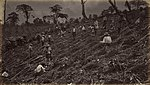 Coffee plantation in the 19th century