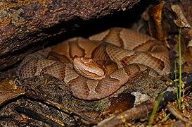 Eastern Copperhead (Agkistrodon contortrix) - Flickr - 2ndPeter.jpg