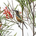 Eastern Spinebill (32335128546).jpg