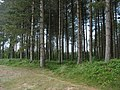 Eastern boundary of the Newborough Forest - geograph.org.uk - 835446.jpg