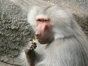 Eating Male Papio hamadryas.JPG