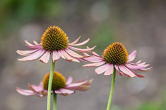 Echinacea purpurea - photo taken at Munich Botanical Garden in Germany