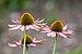 Echinacea purpurea, Jardín Botánico, Múnich, Alemania, 2013-09-08, DD 01.jpg