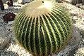 Echinocactus grusonii 8zz.jpg