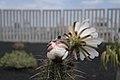 Echinopsis lageniformis flowering 04.jpg