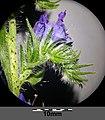 Echium vulgare sl15.jpg
