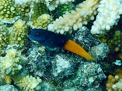 Flame tail blenny or bicolor blenny (Ecsenius bicolor)