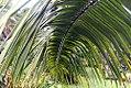 Elaeis guineensis 19zz.jpg