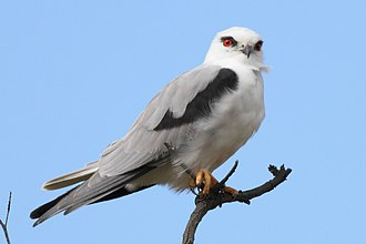 Black-shouldered kite - At Royal Botanic Gardens, Cranbourne, Melbourne, Victoria, Australia