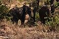 Elephant, Ruaha National Park (9) (28695485946).jpg