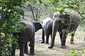 Elephants by the roadside (7568247828).jpg