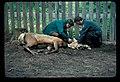 Elk and rangers. July, 1976. slide (cbabe1f884e74e50b883d3cb59201858).jpg