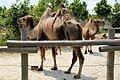 Em - Camelus bactrianus - 6.jpg