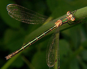 Emerald spreadwing 2.jpg