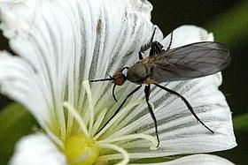 Empis.pennipes.female.jpg