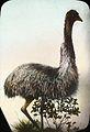 Emu (4749718319).jpg
