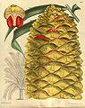 Encephalartos hildebrandtii 141-8593.jpg