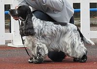 English Cocker Spaniel in Tallinn.JPG