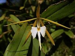 240px epidendrum nocturnum (flower)