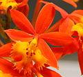 Epidendrum radicans (2372472160).jpg