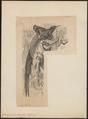 Epimachus maximus - 1700-1880 - Print - Iconographia Zoologica - Special Collections University of Amsterdam - UBA01 IZ16100047.tif
