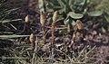Equisetum arvense, Llandaff, April 1984 (30986480586).jpg