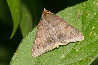 <i>Plecoptera</i> (moth) Genus of moths