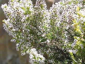 Erica arborea - Image: Erica arborea JPG1