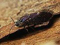 Eriocrania semipurpurella (41617794851).jpg