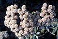 Eriogonum blissianum kz5.jpg