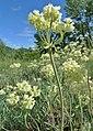 Eriogonum heracleoides var. leucophaeum 4.jpg