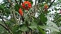 Erythrina subumbrans (Hassk.) Merr.jpg