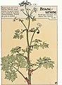 Etude de la plante - p.21 fig.18 - Angélique des bois.jpg