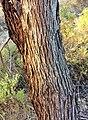 Eucalyptus cneorifolia - trunk bark.jpg
