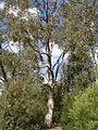 Eucalyptus moluccana.jpg