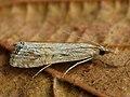 Euchromius ocelleus - Necklace veneer (25958423487).jpg