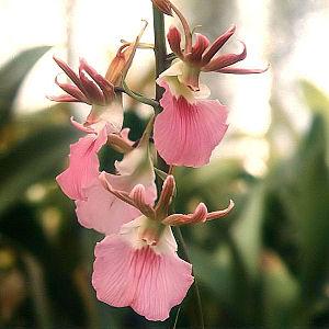 Eulophia-guineensis.jpg