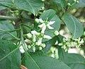 Euonymus hamiltonianus v sieboldianus -比利時 Ghent University Botanical Garden, Belgium- (9229775560).jpg