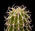 Euphorbia columnaris2 ies.jpg