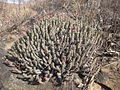 Euphorbia corniculata 2 (5113371345).jpg