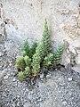 Euphorbia paralias 1.jpg