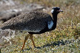 Eupodotis afra -South Africa-8.jpg