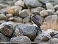 Eurasian Sparrowhawk (Accipiter nisus) (26845606627).jpg