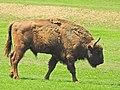 European Bison (Bos bonasus) at Valea Zimbrului reserve (41810790692).jpg