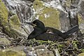 European Shag - Farne Is - FJ0A4997 (36165096642).jpg