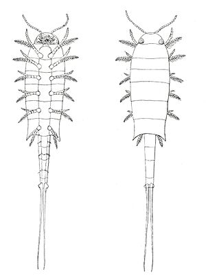 Euthycarcinoidea - 1914 illustrations of Euthycarcinus kessleri by Anton Handlirsch