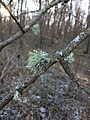 Evernia mesomorpha 106652563.jpg