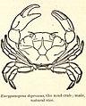 FMIB 52688 Eurypanopeus depressus, the mud-crab; male.jpeg