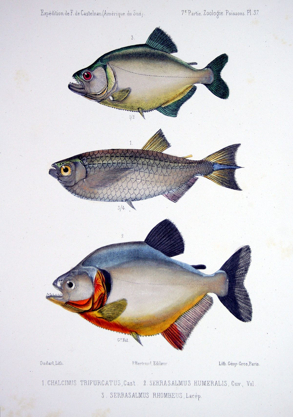 Piraña - Wikipedia, la enciclopedia libre